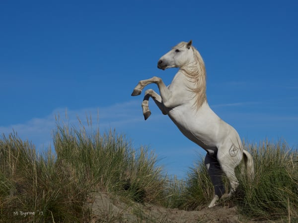 A white stallion rears on top of a sand dune in the Carmague, France.