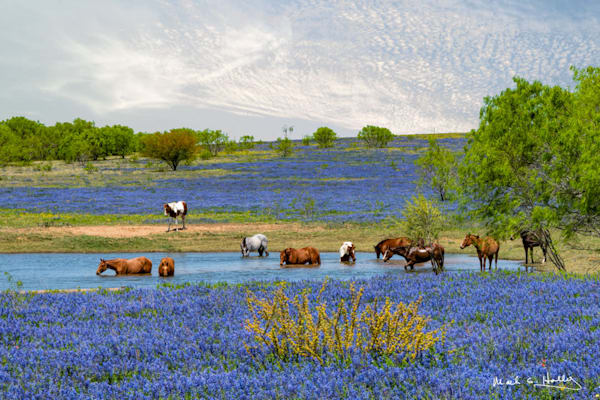 bluebonnet, texas, drink, bath, poteet, horse, pond