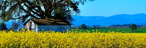 Yellow Mustard Shed Tree