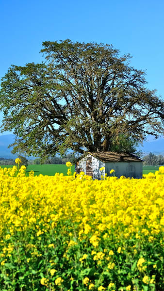 Tree And Pumphouse In Field of Yellow Mustard