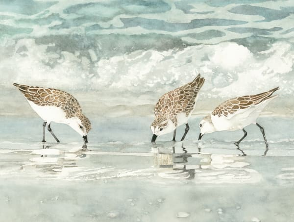 A watercolor print on stretched canvas by Sandra Galloway  of a three Sandpipers, close-up, on the beach