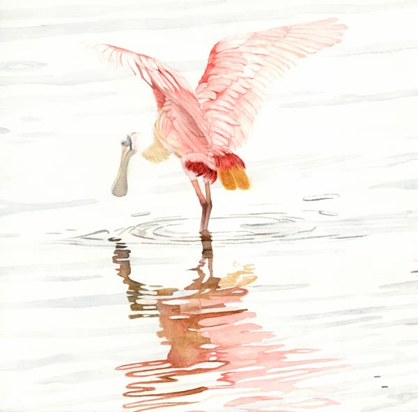 A watercolor print on stretched canvas by Sandra Galloway  of a single spoonbill and its reflection in the shallow water