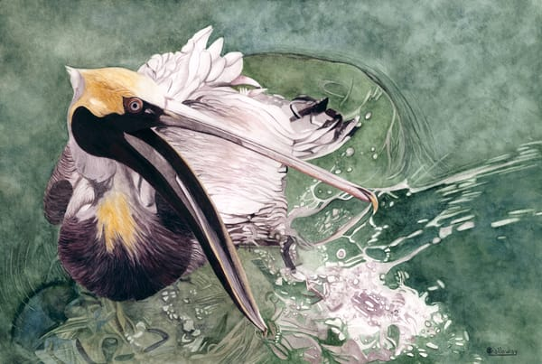 A print of a watercolor painting on stretched canvas by Sandra Galloway.  A Brown pelican floating on the water with its mouth open as if talking to the viewer