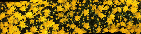 A panorama of yellow flowers.
