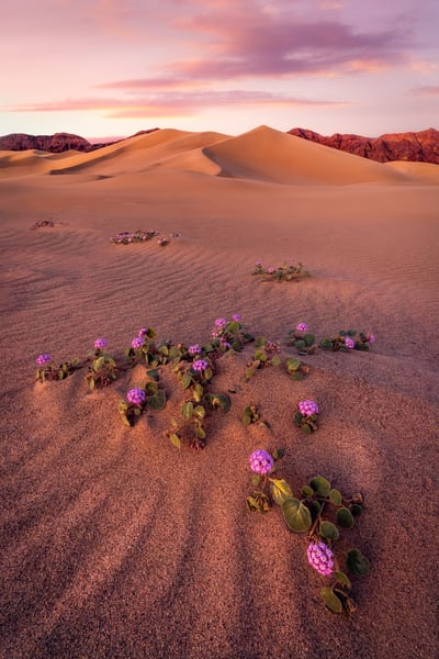 'Verbena & Sand' Photograph by Jess Santos for sale as Fine Art