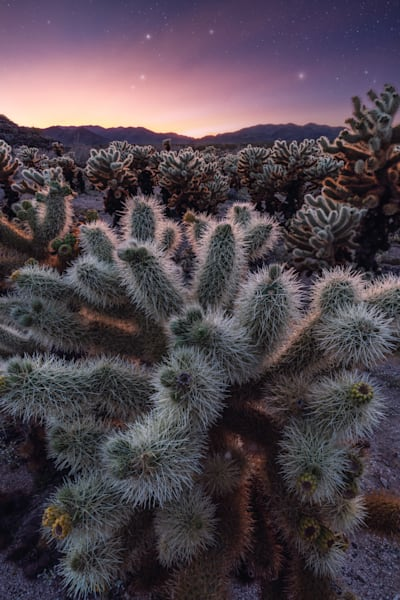 'Cholla Gardens & Star Dust' Photograph by Jess Santos for sale as Fine Art