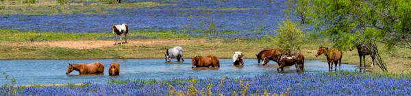 horse, water, reflection, bluebonnet, drink, bath, poteet, texas
