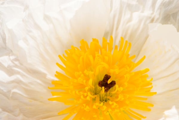 Prickly Poppy | Jim Parkin Fine Art Photography