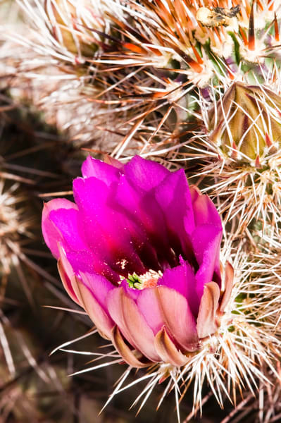 Colorful Cactus Blossom | Jim Parkin Fine Art Photography