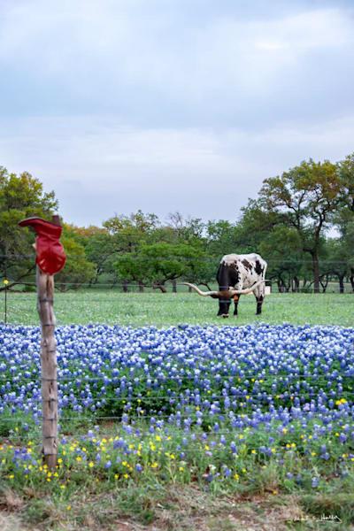 TX, texas, hill-country, bluebonnet, longhorn, grazing