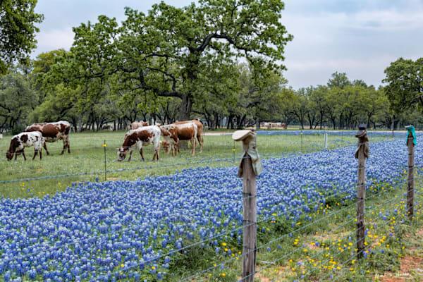 TX, texas, hill-country, willow-city, longhorn, bluebonnet, grazing, sunset