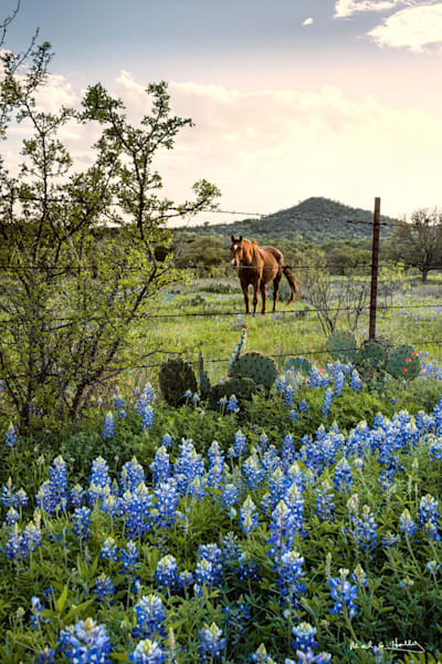 TX, texas, hill-country, willow-city, horse, bluebonnet, grazing, sunset