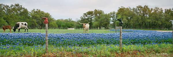 tx, texas, willow-city, longhorn, bluebonnet, sunset