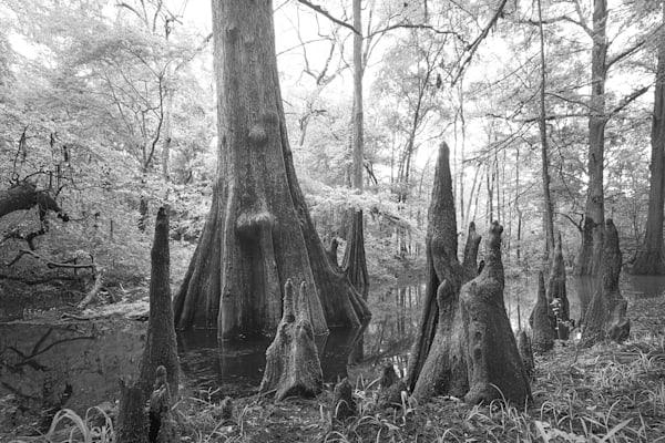 Florida,Cypress,Suwanee State Park