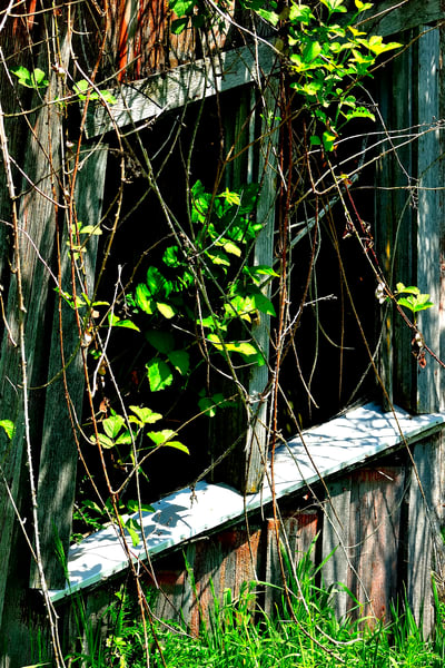 Old Shed Window and Green Vines
