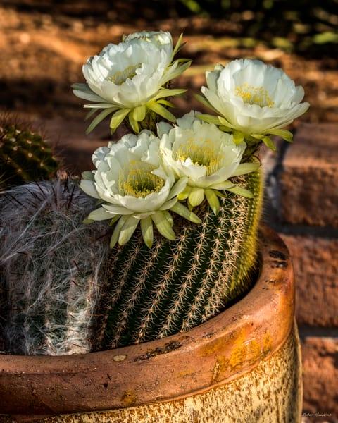 DP402 Mary's Cactus