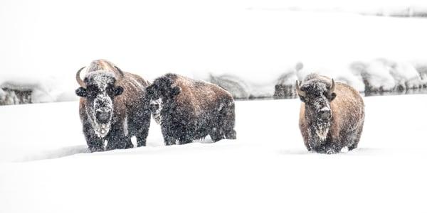 1996 Winter Bison
