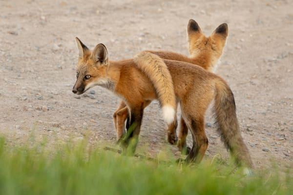 Fox Kit Tail Flop  #2006*