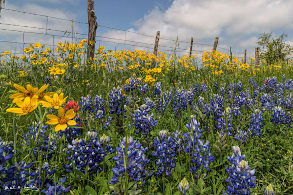 TX, hill-country, art, wildflower, bluebonnet, indian-paintbrush, fence, fenceline