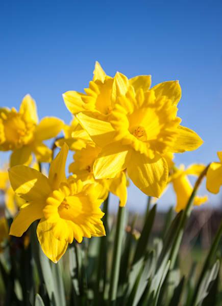 Golden Springtime Daffodils - shop prints | Closer Views