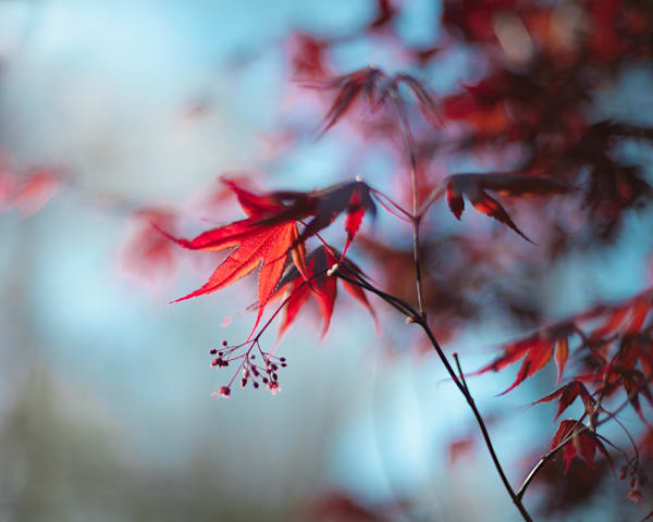 Bloodgood Maple In Spring Photography Art | Sage & Balm Photography