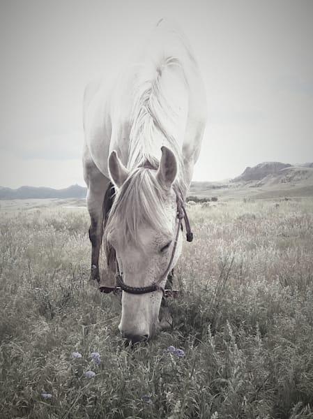 Photograph of a grazing Paso Fino for sale as Fine Art