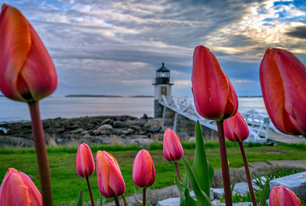 Tulips at Marshall Point by Rick Berk