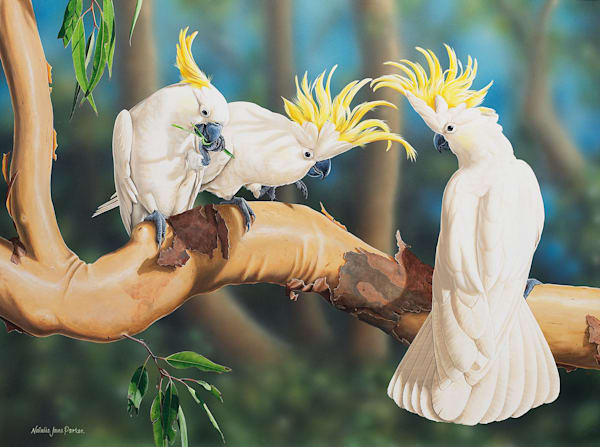 Cockatoo Capers - Sulphur Crested Cockatoos | Natalie Jane Parker | Australian Native Wildlife