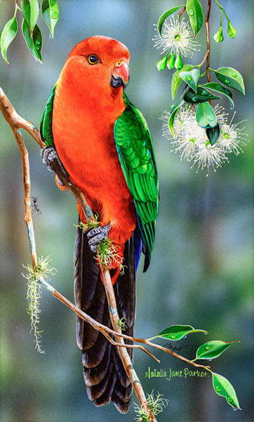 In the shade of the Lilly Pilly s - Male King Parrot Natalie Jane Parker Australian Native Wildlife