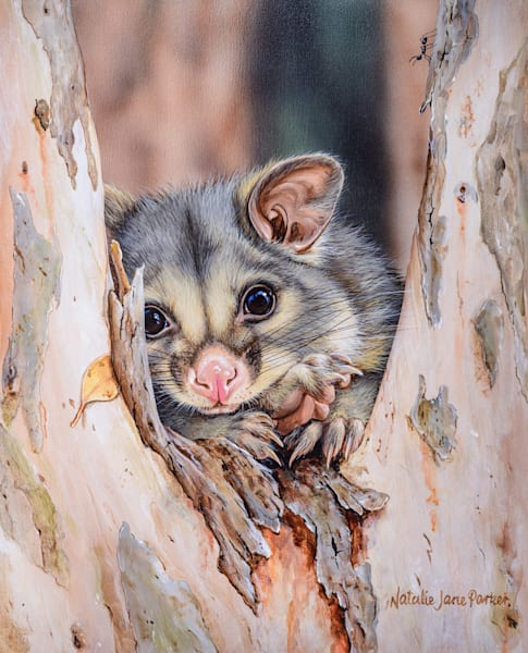 The Favourite Tree - Brushtail Possum In Tree Fork | Natalie Jane Parker Australian Native Fauna