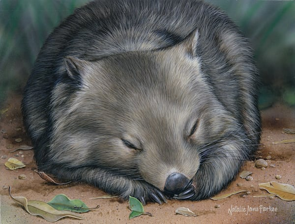 Sleeping Soundly - Sleeping Common Wombat Natalie | Jane Parker | Australian Native Wildlife