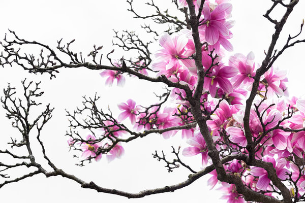 branches filled with purple magnolia flowers,
