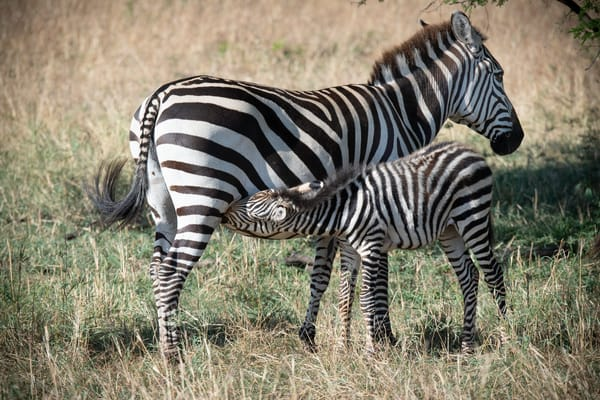 A nursing zebra - Africa - fine art photography prints - Serengeti