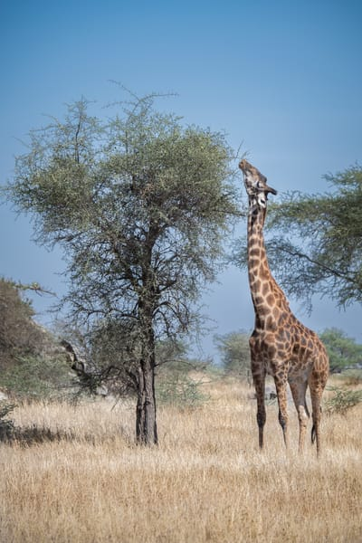 A giraffe in the Serengeti stretches for its meal - photography fine art prints