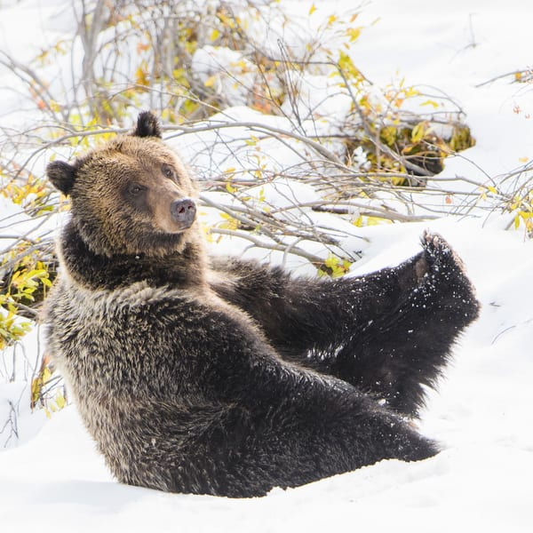 1913 Yoga Bear