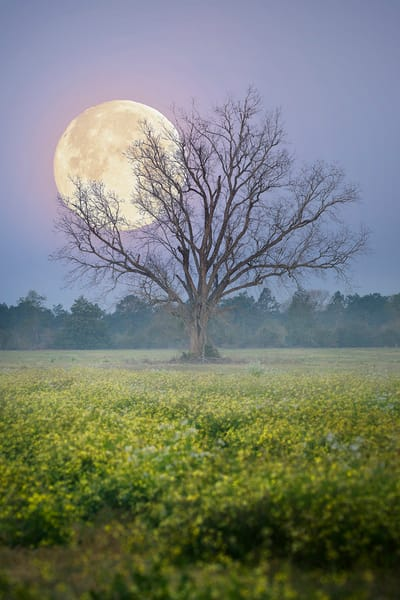 "Full ""worm"" moon behind a lone tree located in Okaloosa County, Florida 