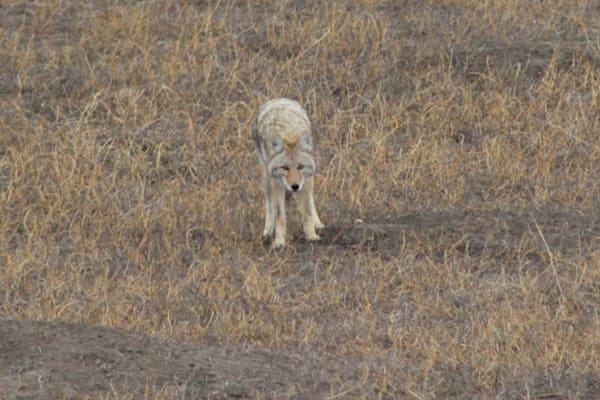 Badlands Coyote