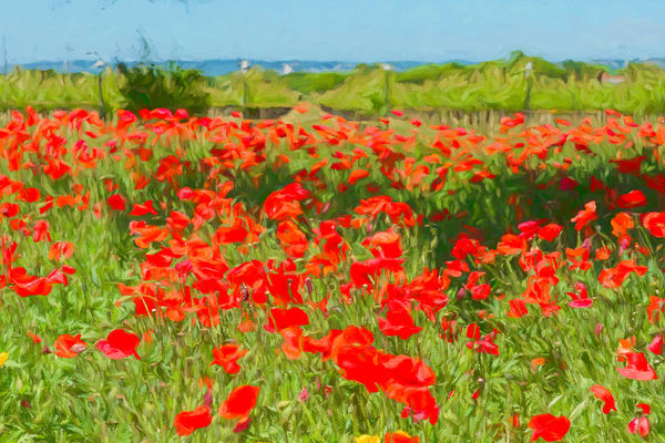 Red Poppy Wildflowers in A Field Near the Vineyard