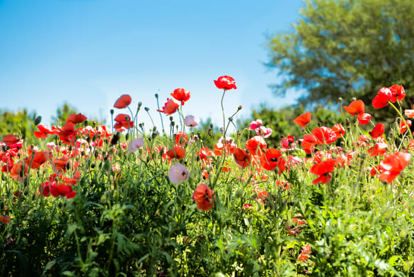 Poppy Wildflowers in Texas Wine Country