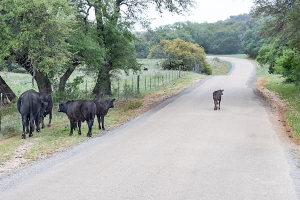 One Independent Calf at the Ranch