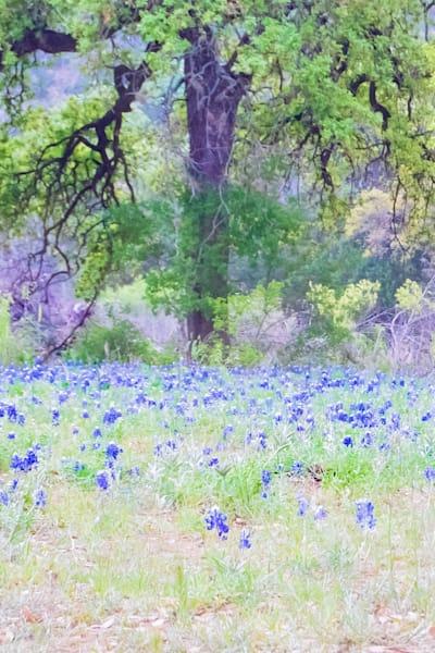 Hi Key Bluebonnets Framed By A Texas Oak