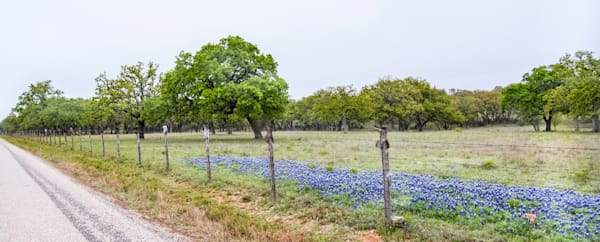 A Wave of Bluebonnets Gracing the Road in Willow Loop