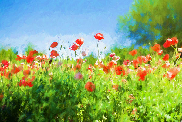 Close-up of Poppy Wildflowers in Texas Wine Country Oil