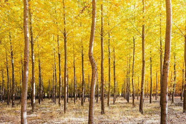Bordman trees