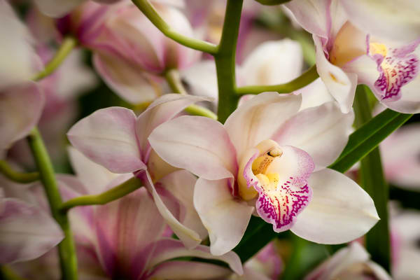 orchid flowers in bloom  |  Brad Oliphant Photography