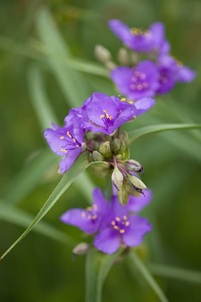 Vibrant purple Ohio Spiderwort in full bloom - fine art photographs