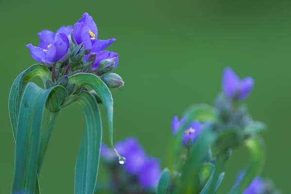 Beautiful blue spiderwort flowers, softly lit - fine art photographs