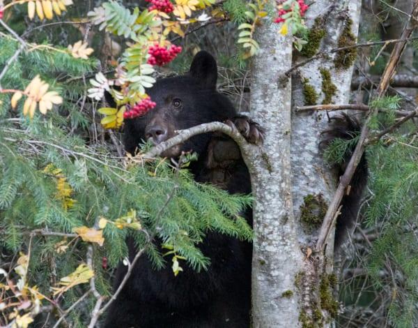 Black Bear & Berries Photography Art | Leiken Photography