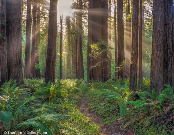 Redwood Sunrise Photo