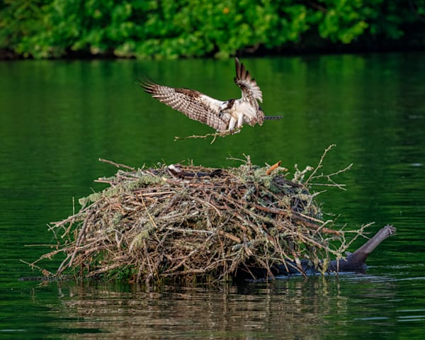 Osprey on open wings photography print